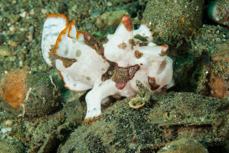 Frogfish pintado em Ambon, Maluku, foto subaquática de Indonésia imagens de stock royalty free