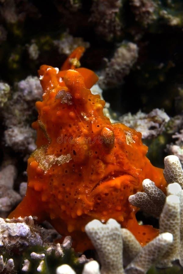 Frogfish rouge images libres de droits