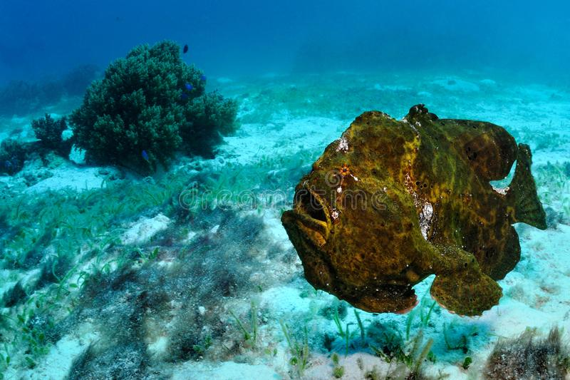Angry frogfish stock photo