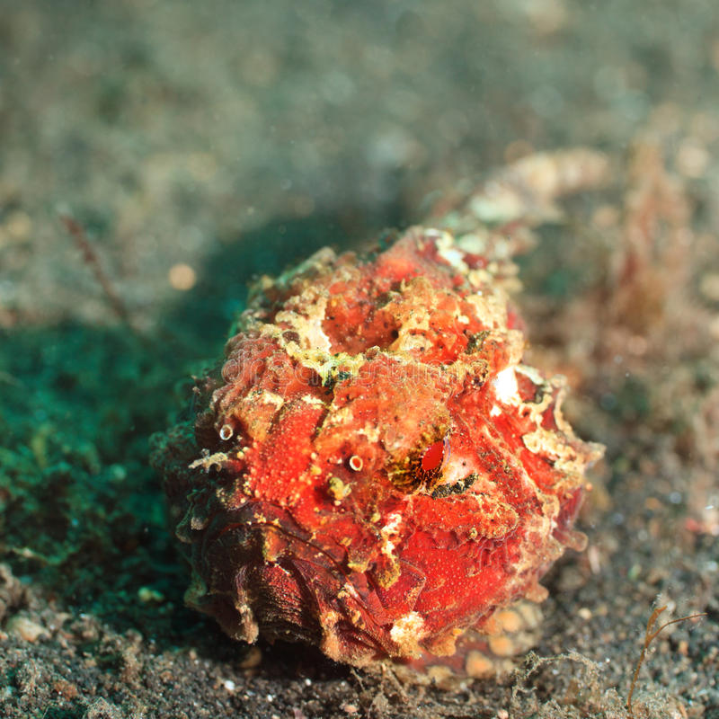 Frogfish tropical de poissons photo stock