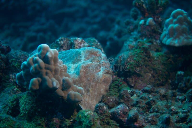 Frogfish van Commerson royalty-vrije stock fotografie