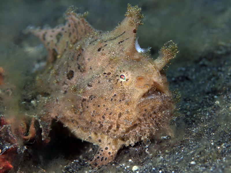 Frogfish velu photo libre de droits