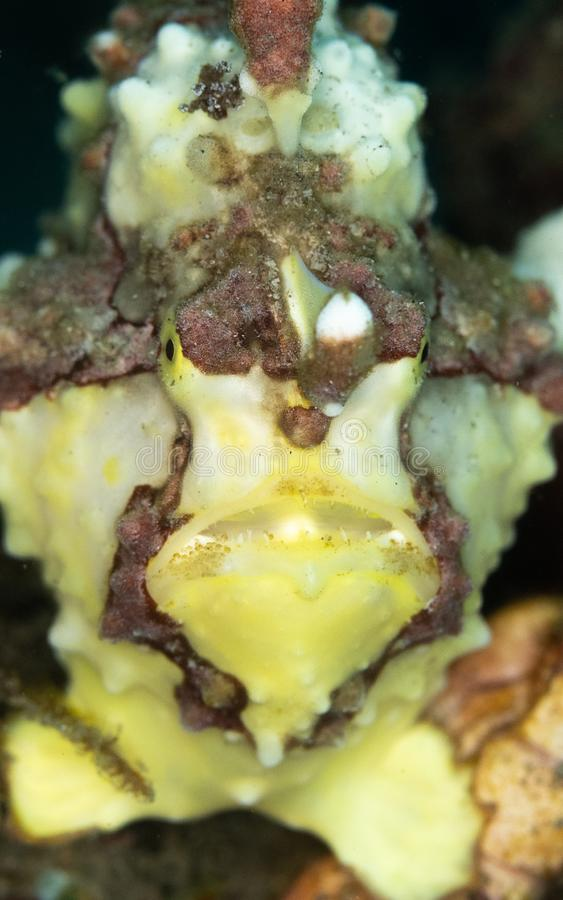 Frogfish Warty, maculatus d'Antennarius Lembeh, Sulawesi du nord images libres de droits