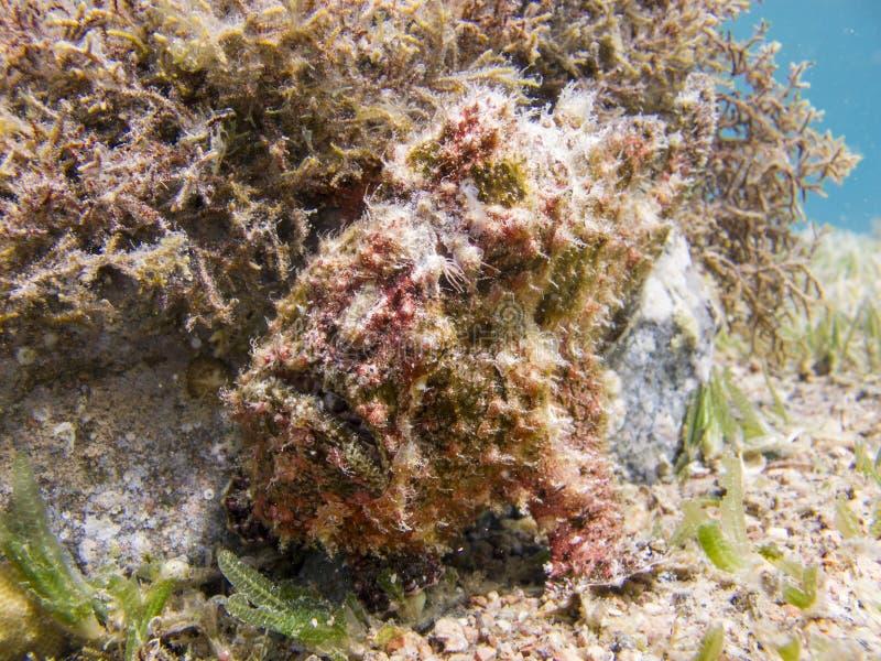 Frogfish Warty vermelho na parte inferior do Mar Vermelho ao lado de um coral fotografia de stock royalty free