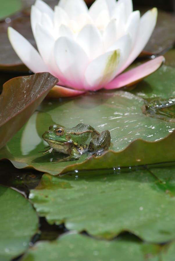 Froggy royaltyfria foton