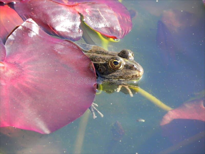 Froggyhideout arkivbild