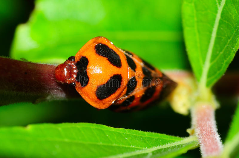 Froghopper Stock Photography
