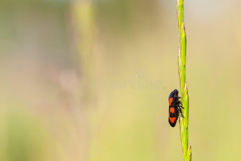 Froghopper, o mais spuugbeest fotos de stock