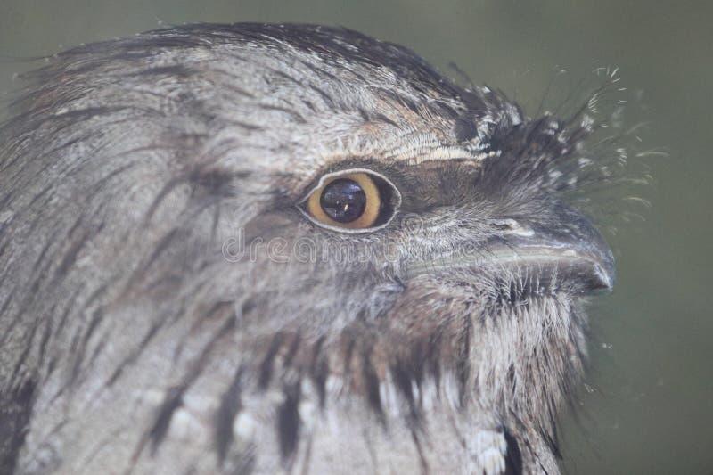 Frogmouth bruno fulvo immagine stock libera da diritti