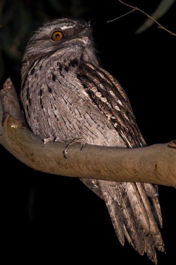 Frogmouth fauve, engoulevent, oiseau indigène australien de hibou photo libre de droits