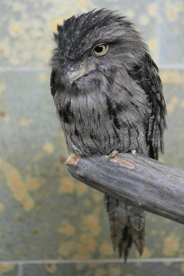 Frogmouth Tawny immagine stock