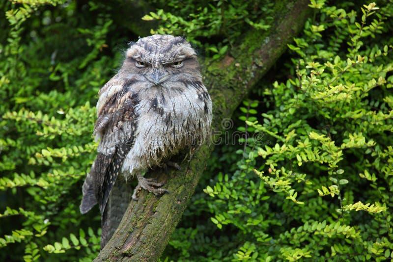 Frogmouth Tawny fotografia stock libera da diritti
