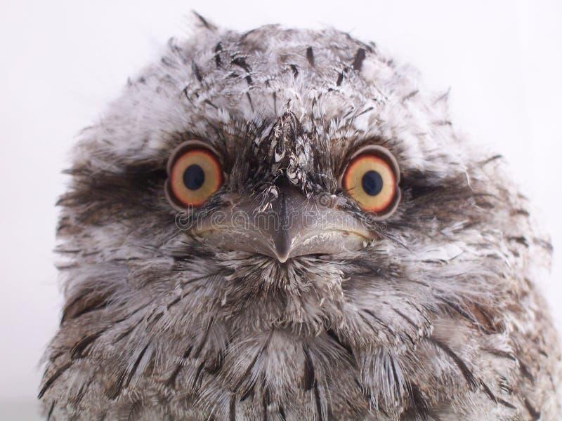Frogmouth Tawny australiano giovanile - ritratto immagine stock