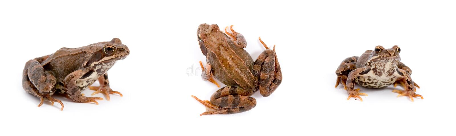 Frogs. Frog isolated on a white background, collage stock photography
