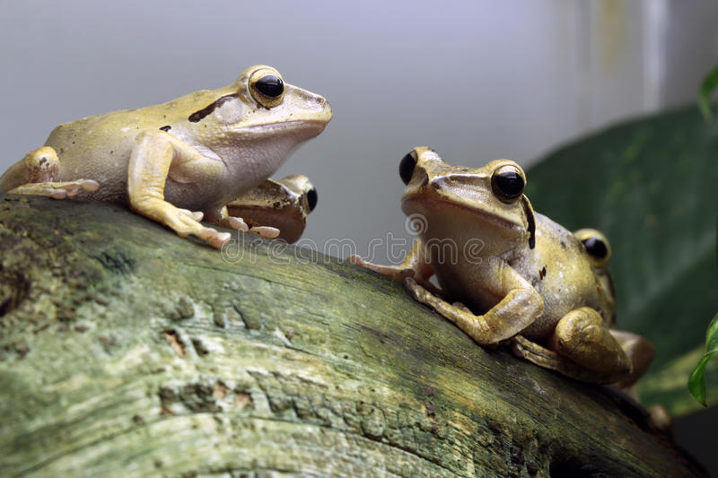 Frogs. Java Whipping Frogs (Polypedates Leucomystax royalty free stock image