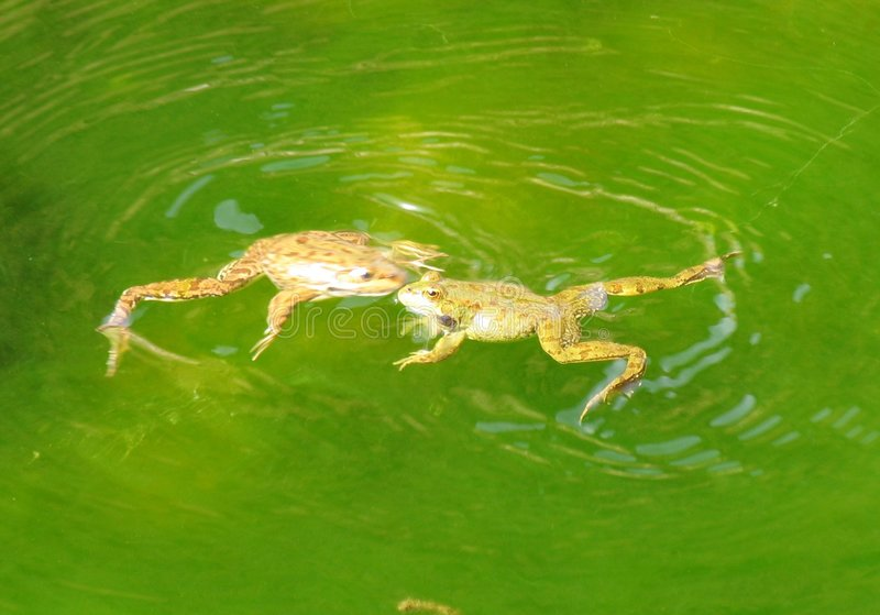Download Frogs stock image. Image of playing, animals, morocco, lake - 182507