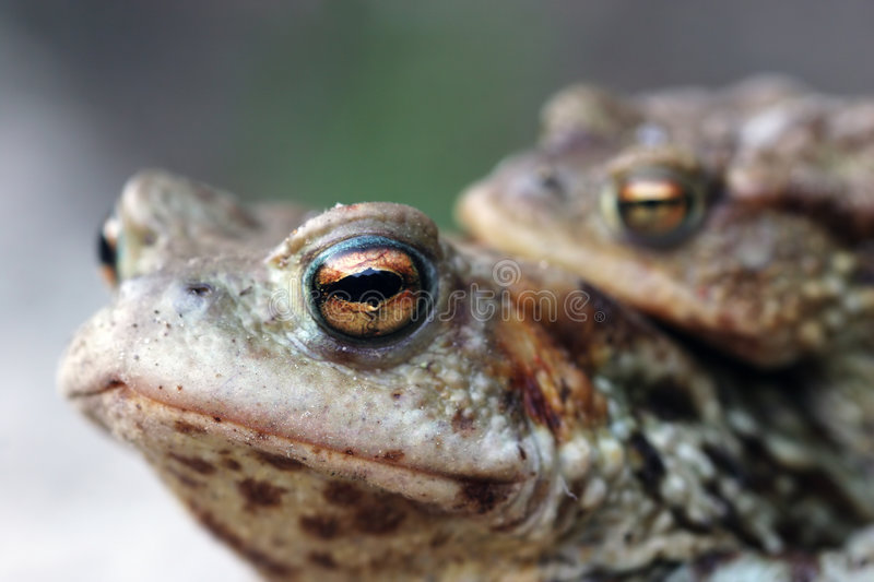 Frogs couple royalty free stock photo