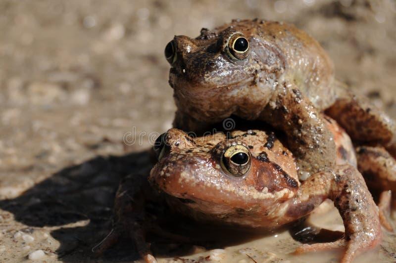 Frogs mating season royalty free stock photos