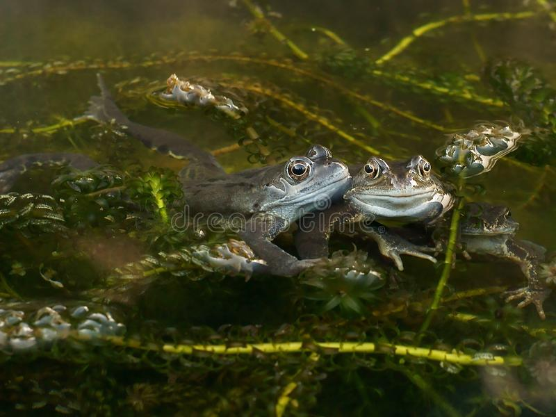 Frogs spawning in a Pond royalty free stock image