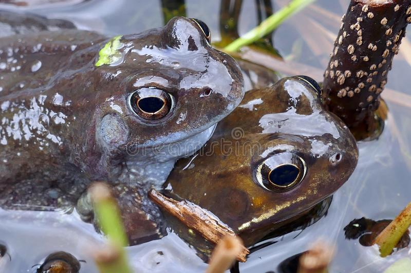 Frogs spawning in a Pond stock photo