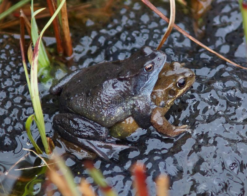 Frogs spawning in a Pond royalty free stock photography