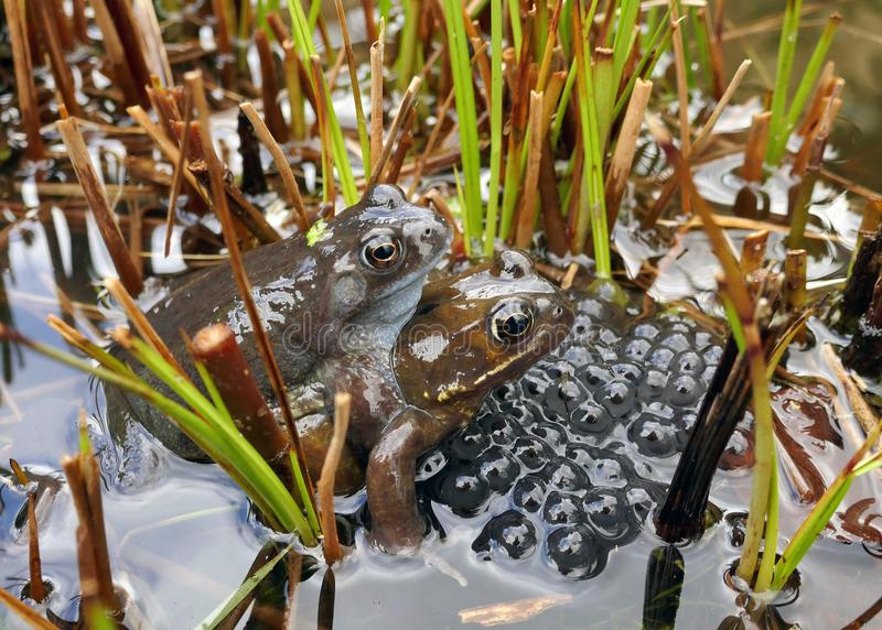 Frogs spawning in a Pond stock images