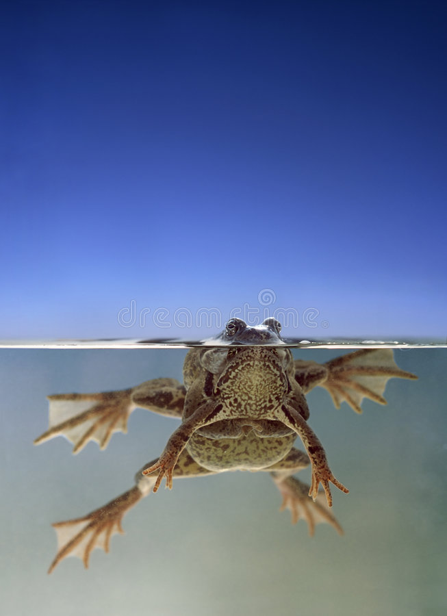 Download Frogs swimming in water stock image. Image of looking - 5236891