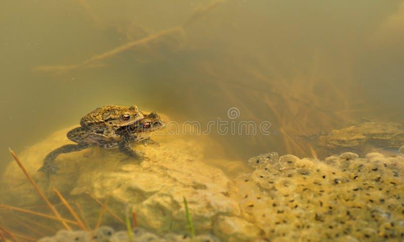 Download Frogs Underwater (Rana Temporaria) Stock Photo - Image: 21826222