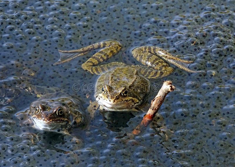 Frogs in the water next to spawning royalty free stock photos