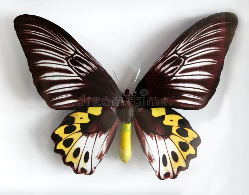 Download Froides Hypolitus A Beautiful Giant Butterfly Stock Image - Image: 33599973