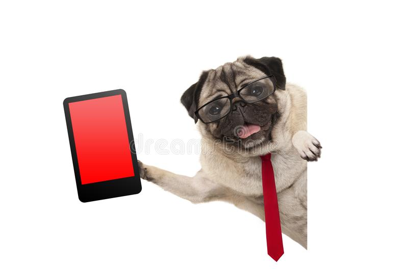 Frolic business pug puppy dog with red tie and glasses, holding up tablet phone with blank red screen, hanging sideways from white. Banner, isolated stock image