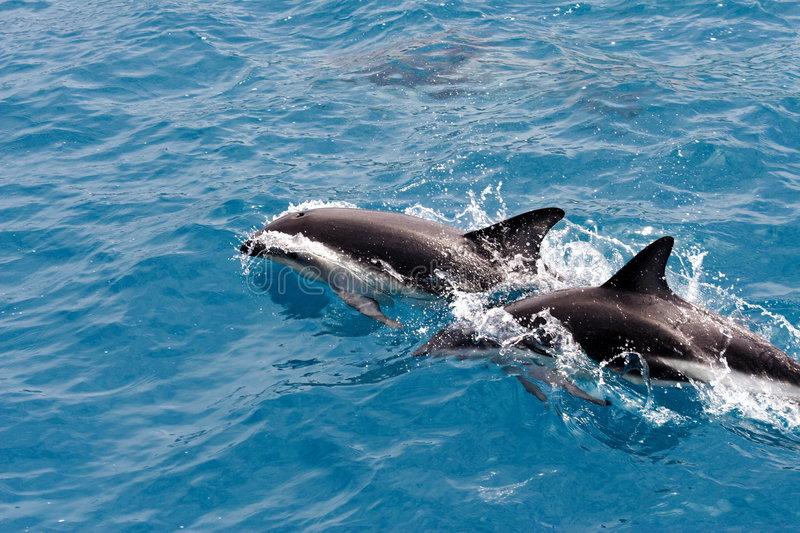 Frolic dolphins royalty free stock photography
