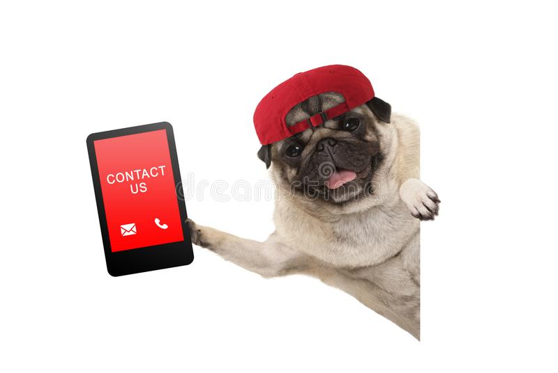 Frolic pug puppy dog with red cap, holding up tablet phone with text contact us, hanging sideways from white banne. Isolated royalty free stock image