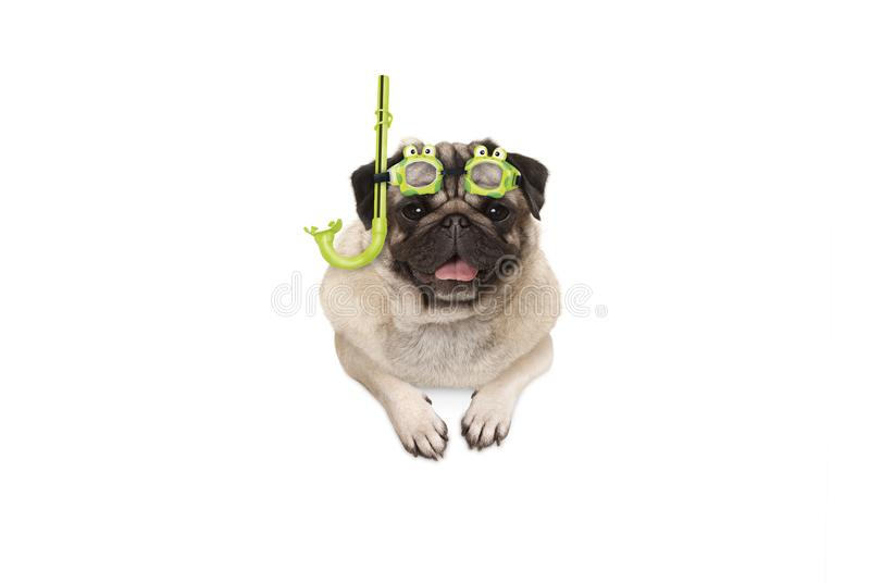 Frolic smiling pug puppy dog with green snorkel and goggles, ready to dive, isolated stock images