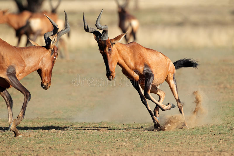 Download Frolicking red hartebeest stock photo. Image of reserve - 39512612