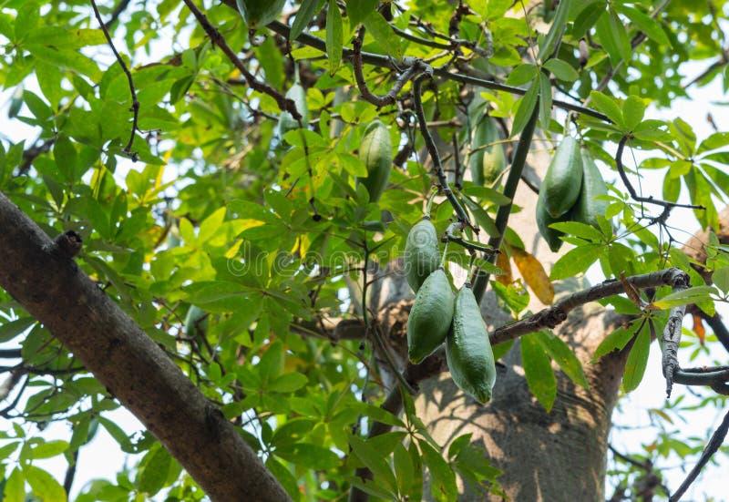 Fromager bianca, ceiba, capoc, cotone di Java, capoc di Java, nome scientifico del Seta-cotone: Pentandra della ceiba fotografia stock libera da diritti