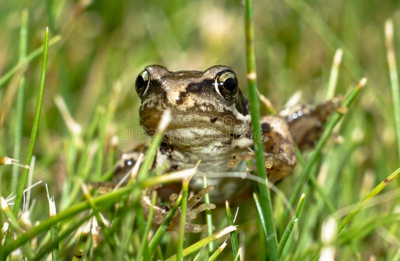 Fron in the Gras. Frog in the Garden, Macro shot with a6300, Macro Tubes and 50mm Lense royalty free stock photos