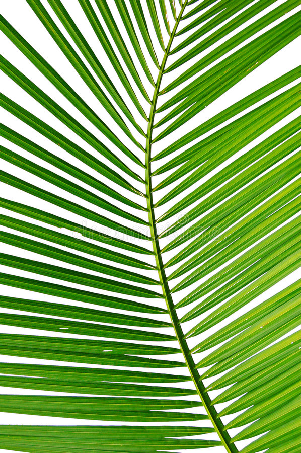 Frond royalty free stock image