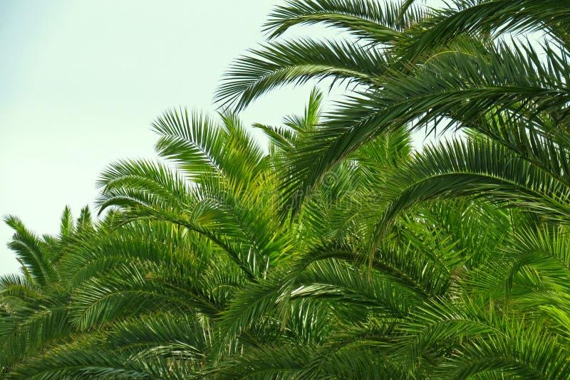 Frondas da palma e céu azul no Sardina fotografia de stock