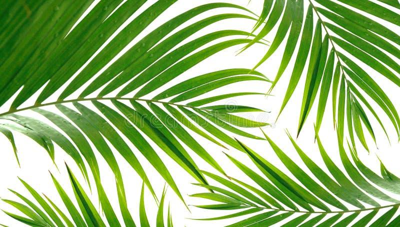 Frondas tropicais da palma fotografia de stock royalty free