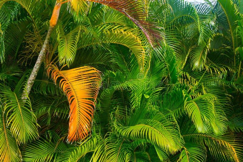 Frondas verdes da palmeira que giram douradas imagens de stock