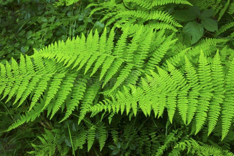 Frondas verdes da samambaia hayscented, conserva de Belding, Vernon, Conne fotografia de stock royalty free