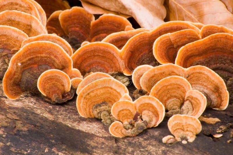 frondosa grifola karmazynki drewna obrazy stock