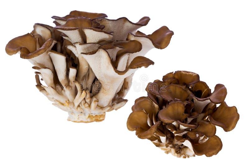 frondosa grifola karmazynki pieczarki drewna obraz royalty free