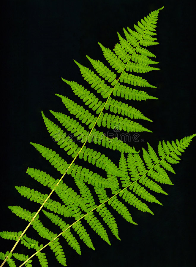 Download Fronds stock photo. Image of green, spores, leaf, primordial - 968562