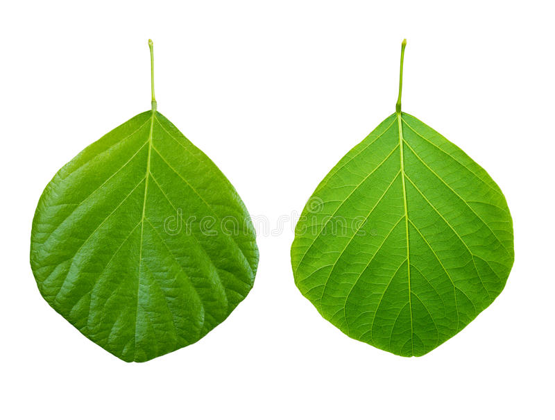 Front and back green leaves pattern texture isolated on white background. Clipping path stock images