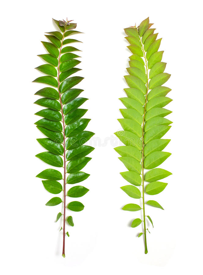 Front and back green star gooseberry leafs on white background. royalty free stock photos