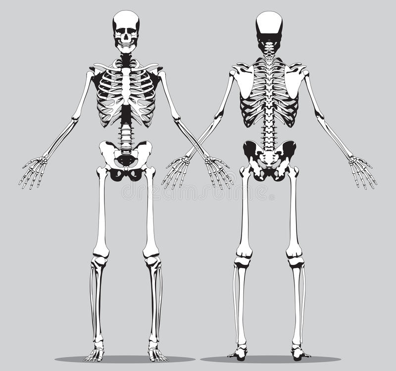 front and back view of a human skeleton stock vector - image: 47475598, Skeleton