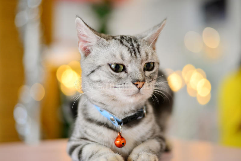 Front of Cat. Front view of American shorthair cat so cute stock photo