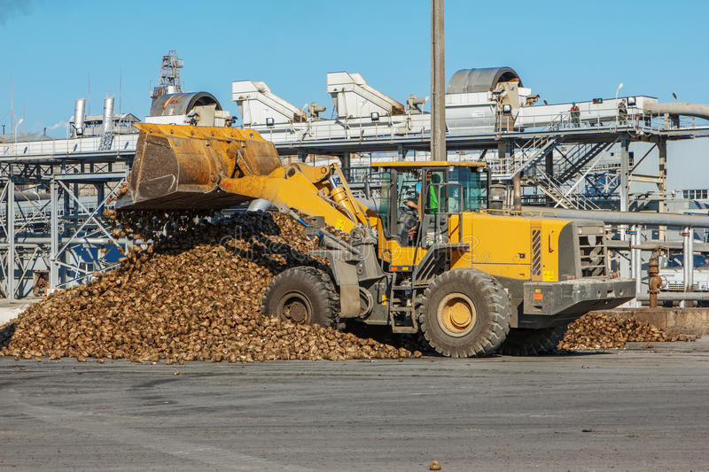 Front-end loader in action on the loading of sugar beet at a sugar factory stock photography